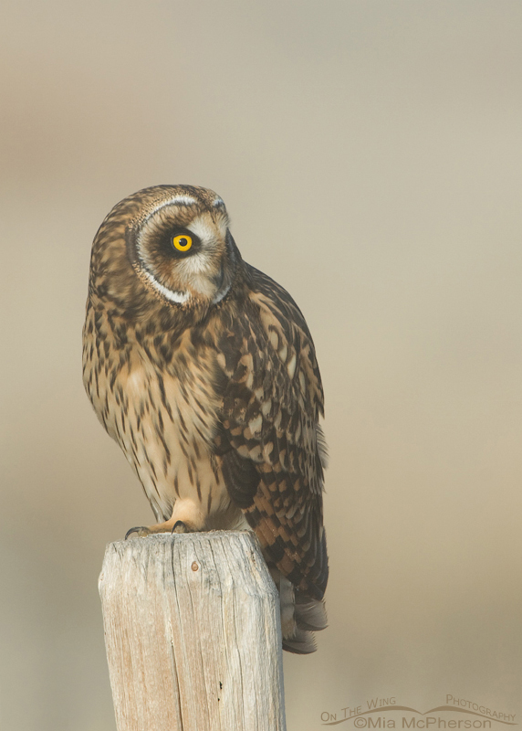 Female Short-eared Owl with head turn