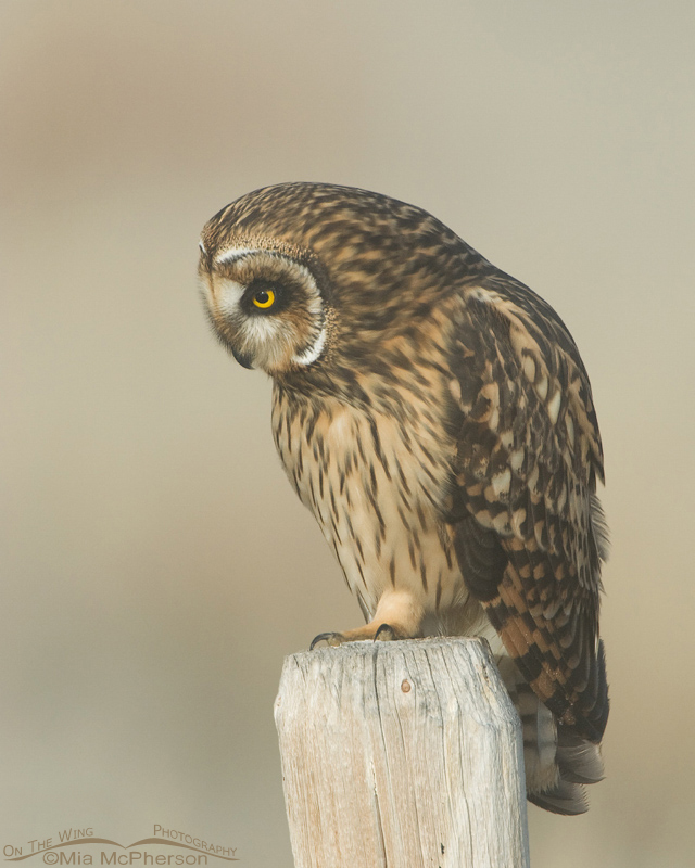 Female Short-eared Owl looking down