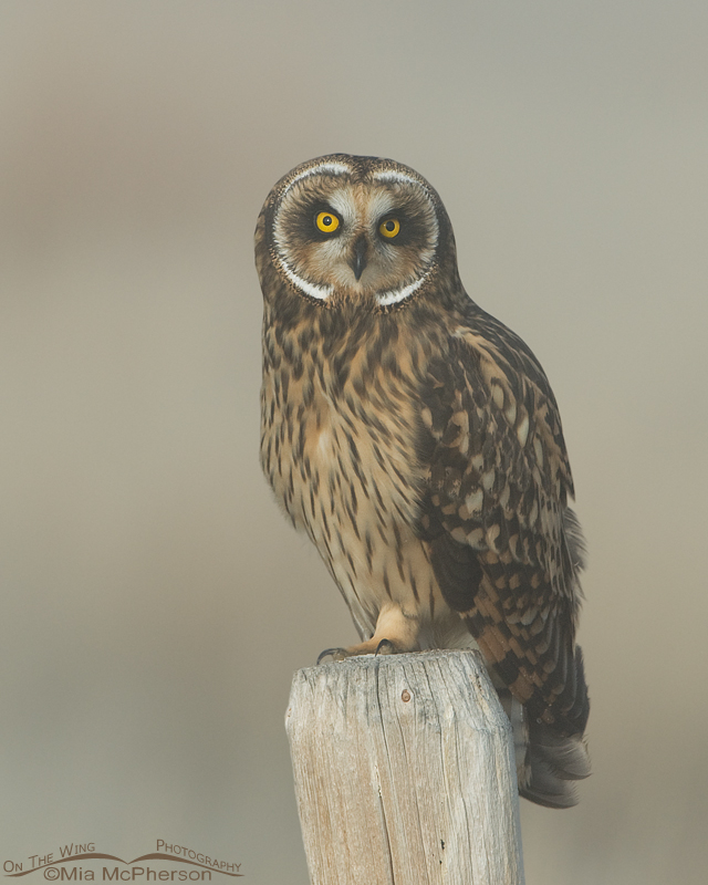 Female Short-eared Owl photographed in a lake fog