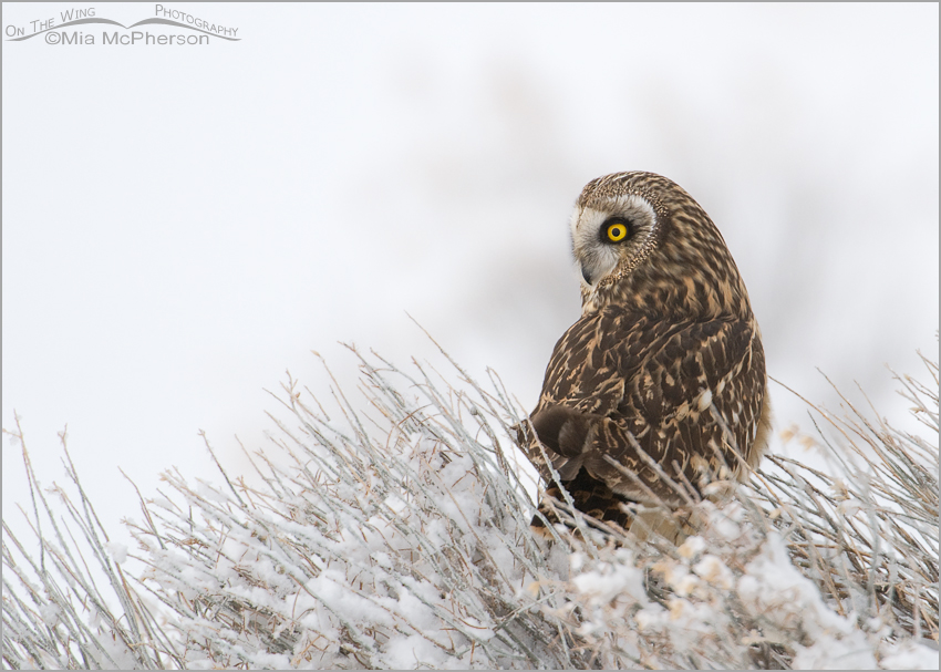 Female Short-eared Owl on a snowy day