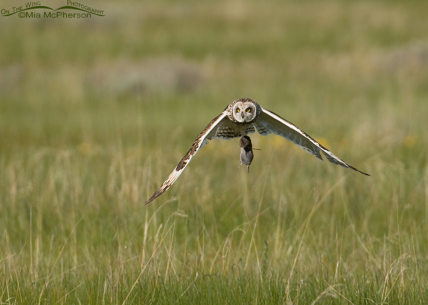 Male Short-eared Owl with prey for chicks