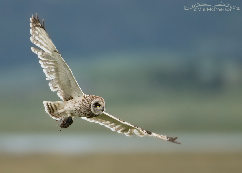 Male Short-eared Owl with prey for his young