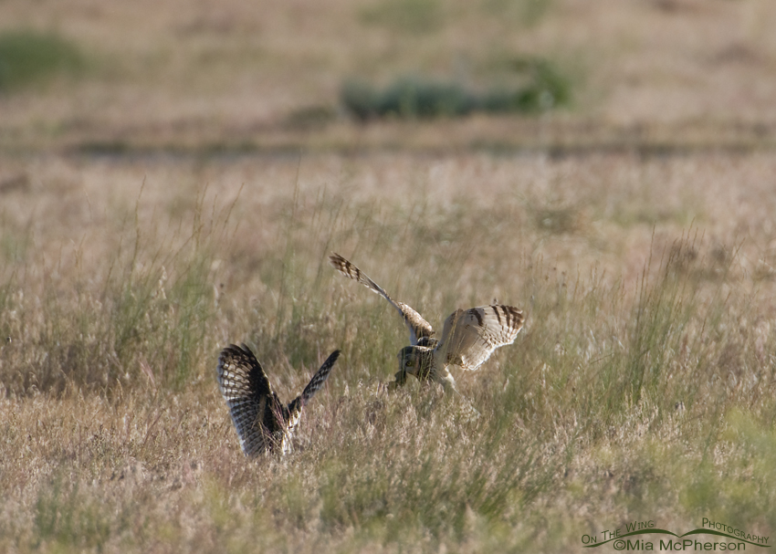 Adult Short-eared Owl bringing a vole to a fledgling