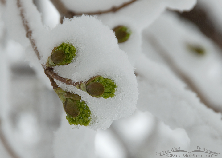 Snow-covered buds