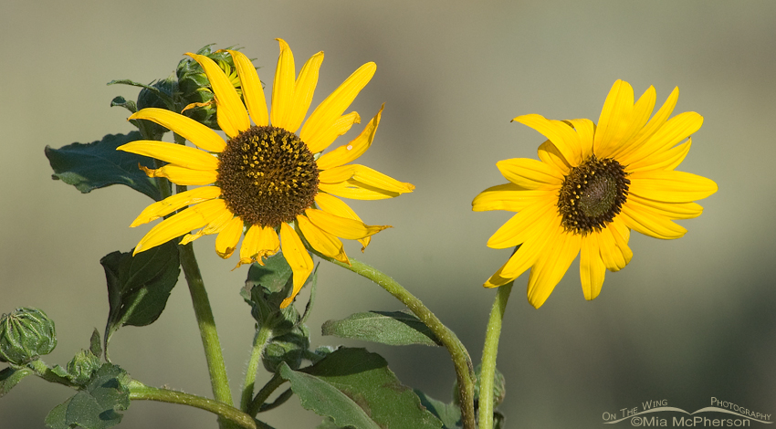 Wild Sunflowers on Antelope Island State Park