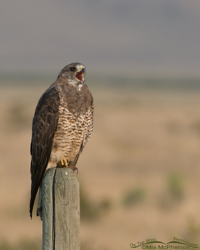 Adult Swainson's Hawk calling near its young