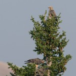 Juvenile Swainson's Hawks and their nest