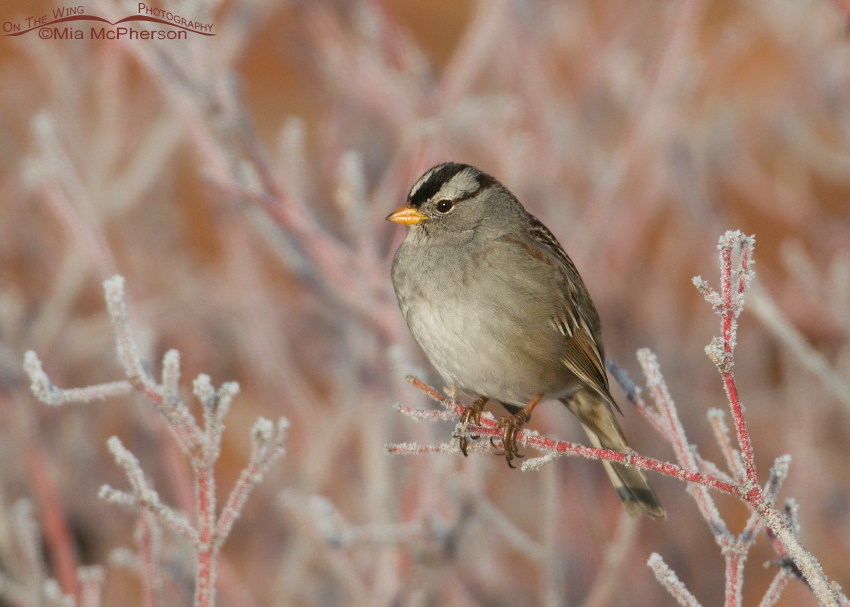 White-crowned Sparrow perched on a frosty shrub