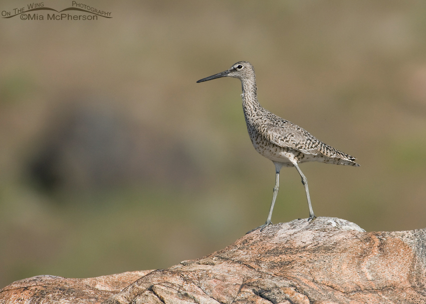 Willet on a hillside rocky outcrop