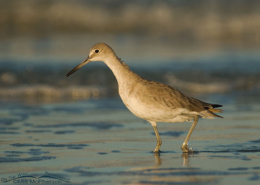 Willet foraging in early morning light