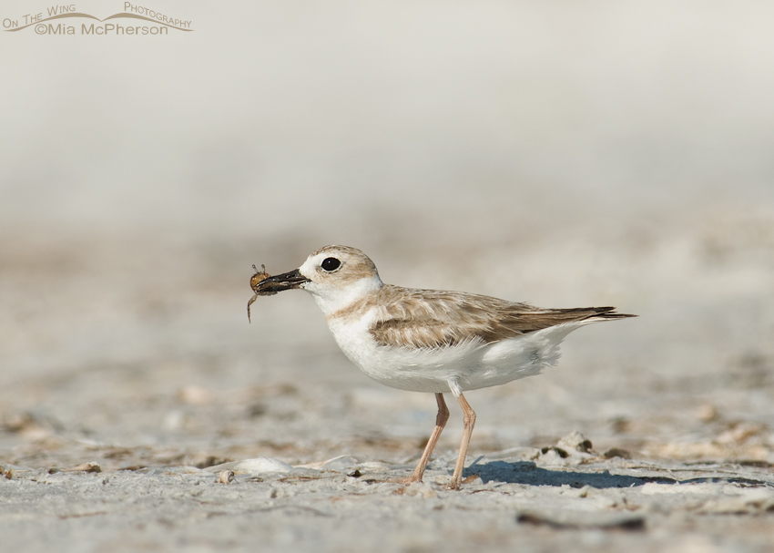 Juvenile Wilson's Plover with crab