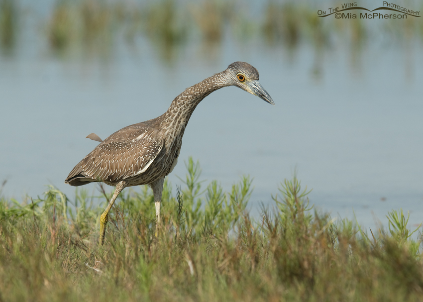 Juvenile Yellow-Crowned Night Heron stalking prey