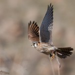 Escaped female American Kestrel with jesses 2012