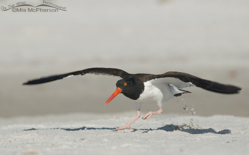 American Oystercatcher Lift Off