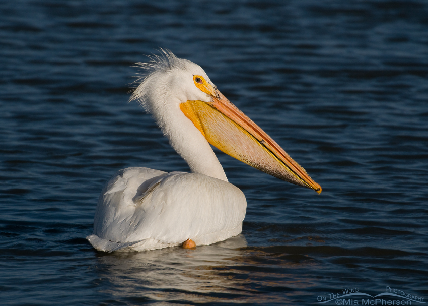 American White Pelican at Bear River Bird Refuge
