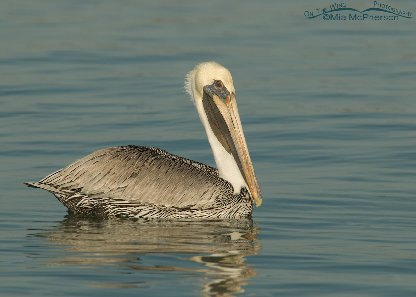 Adult Brown Pelican in nonbreeding plumage