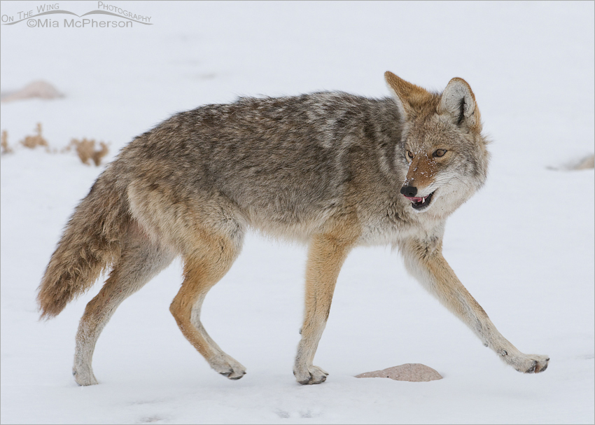 A Coyote licking its chops