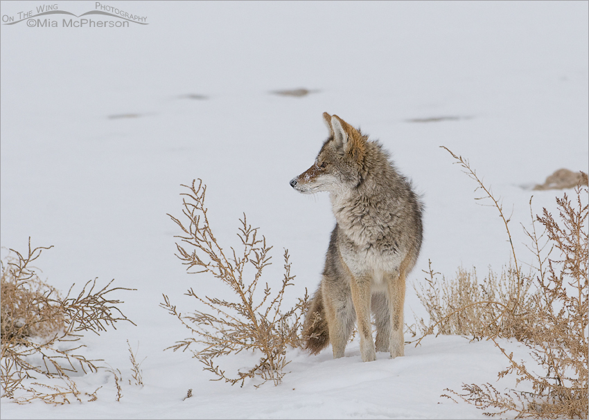 Coyote on the shore of the Great Salt Lake
