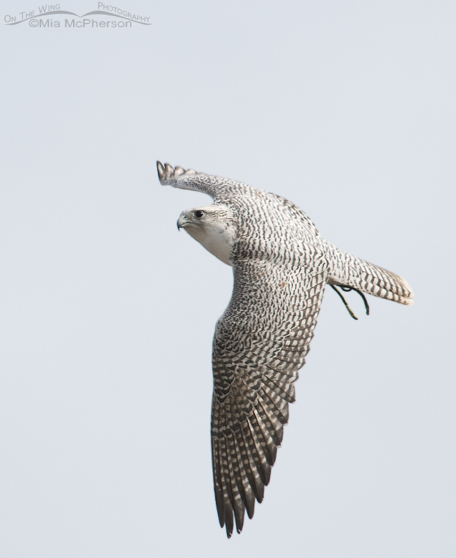 Gyrfalcon in flight