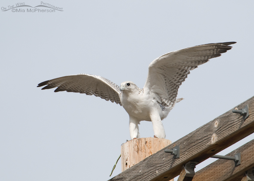 Gyrfalcon getting ready to lift off