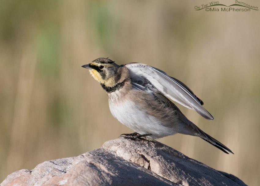 Lift those wings! Yes, even Horned Larks seem to need to limber up