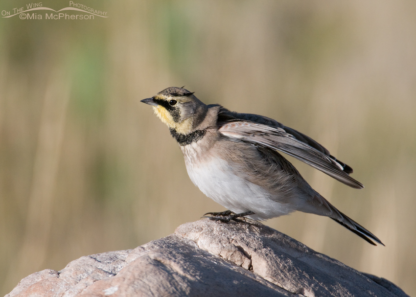 Horned Lark stretching those shoulders