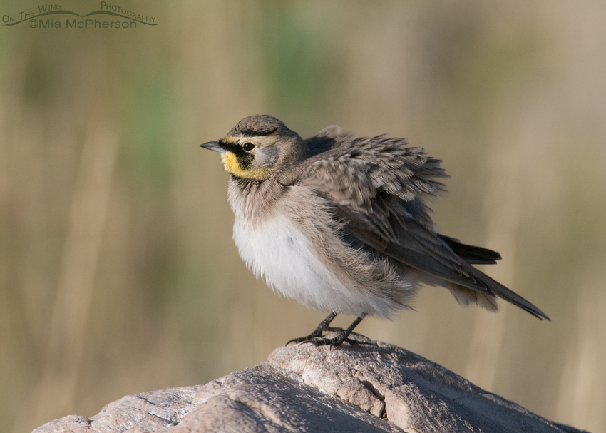 Horned Lark all fluffed up