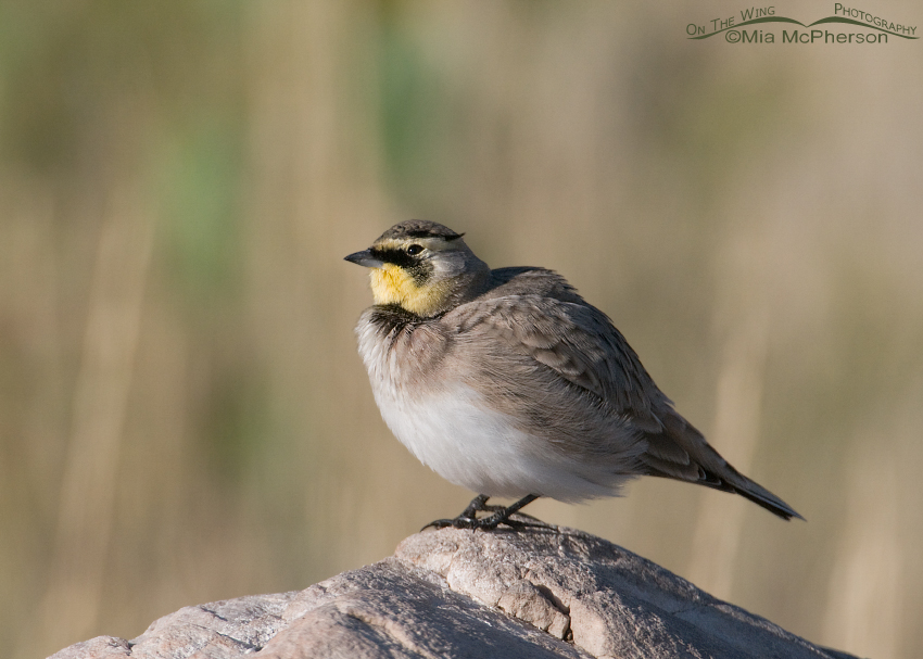 Horned Lark keeping an eye on the sky