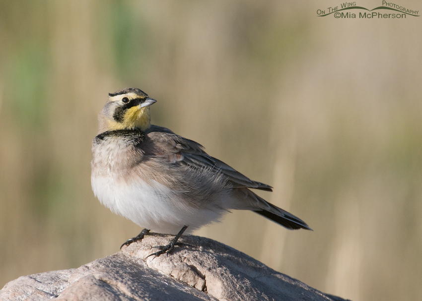 Horned Lark checking out the sky