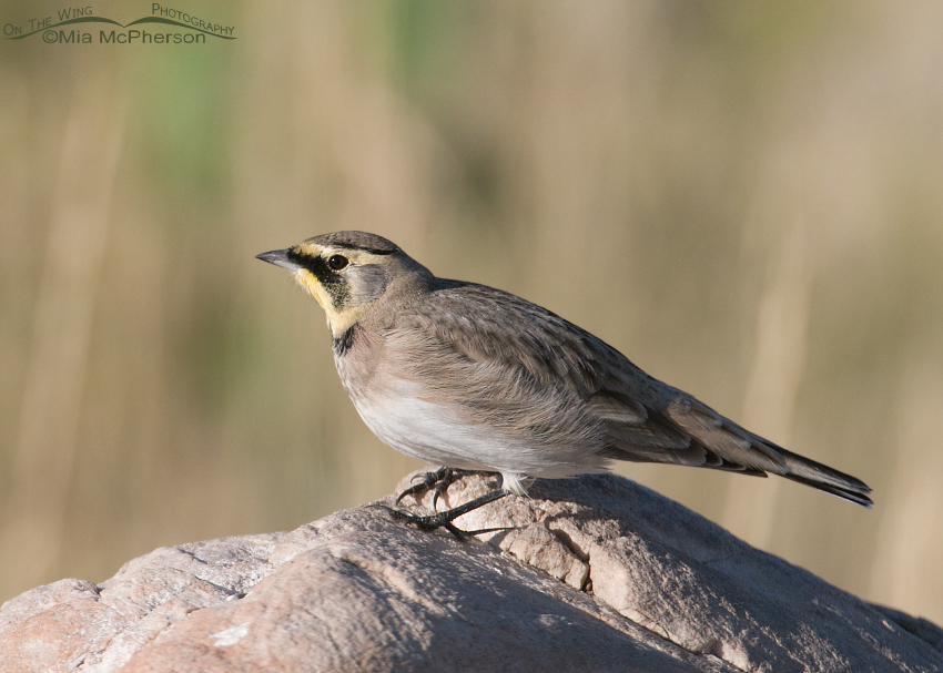 A handsome Horned Lark
