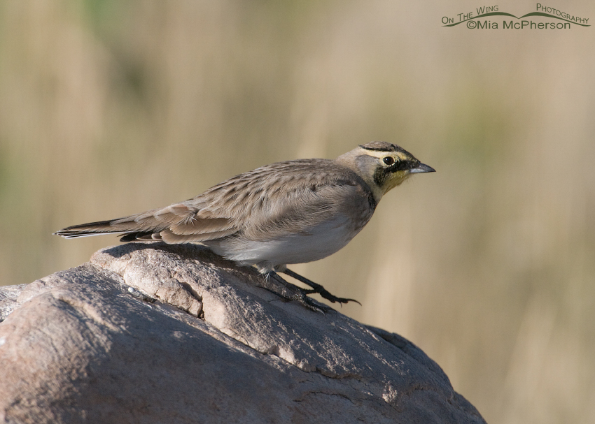 A Horned Lark about to fly away after preening