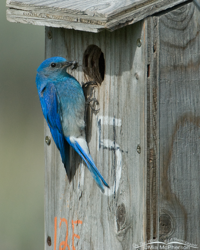 Male Mountain Bluebird with prey at nest box