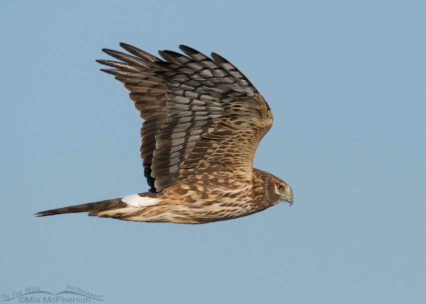 Northern Harrier female in flight