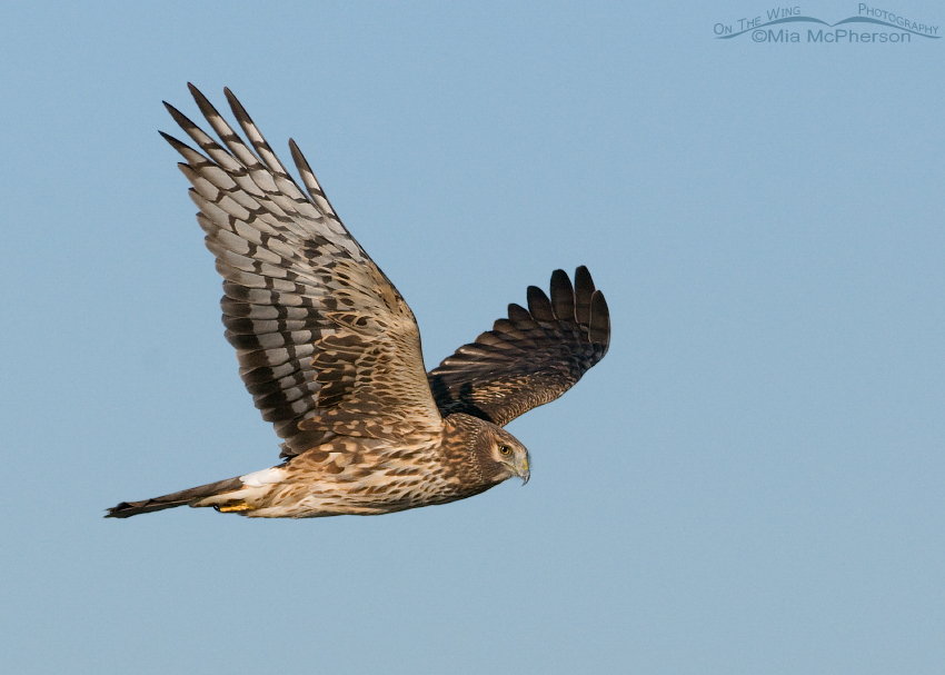Northern Harrier female flying along Antelope Island Causeway