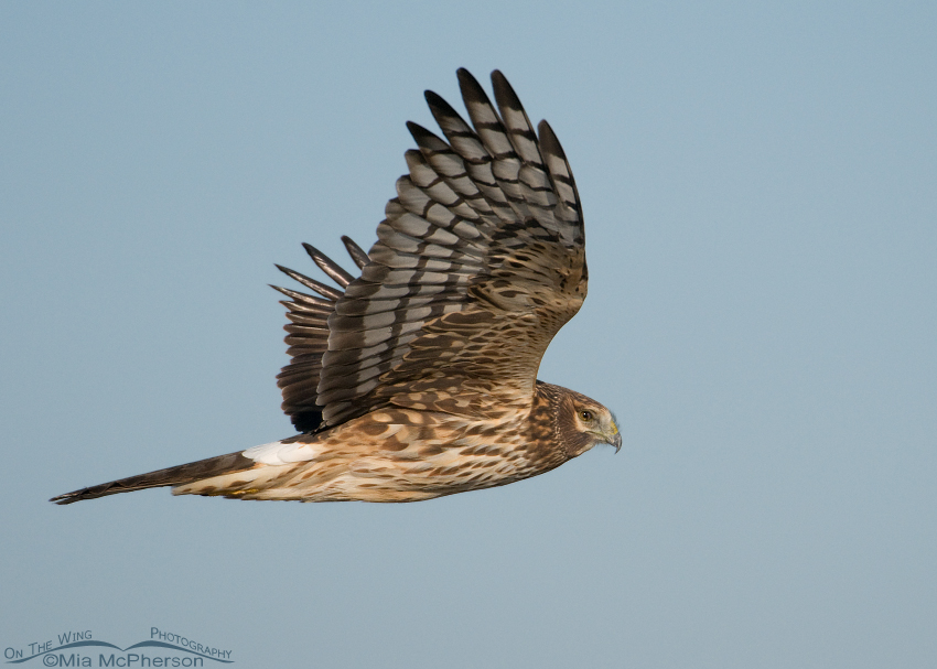 Female Northern Harrier displaying her nictitating membrane