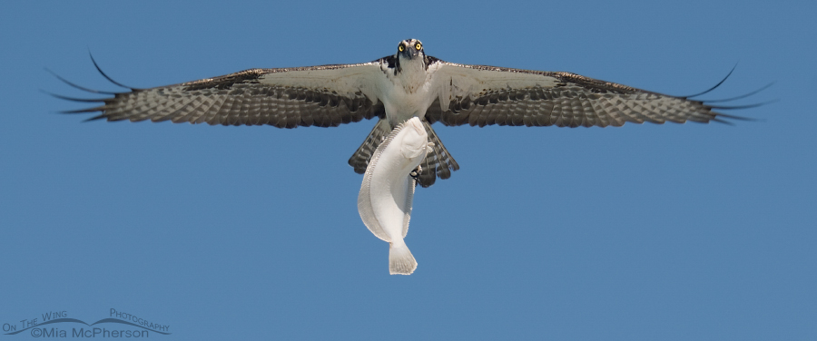 An Osprey in flight with a huge Flounder