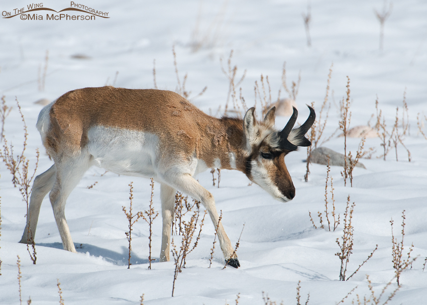 A Pronghorn buck in winter