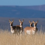 Pronghorn does on an Antelope Flat hillside