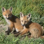 A pair of Red Fox kits at Bear River National Wildlife Refuge