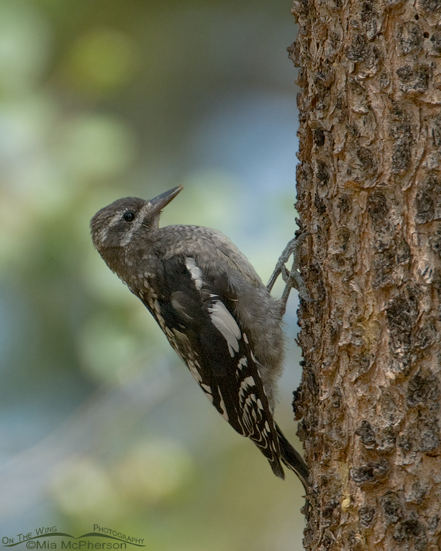 Juvenile Red-naped Sapsucker in Summit County