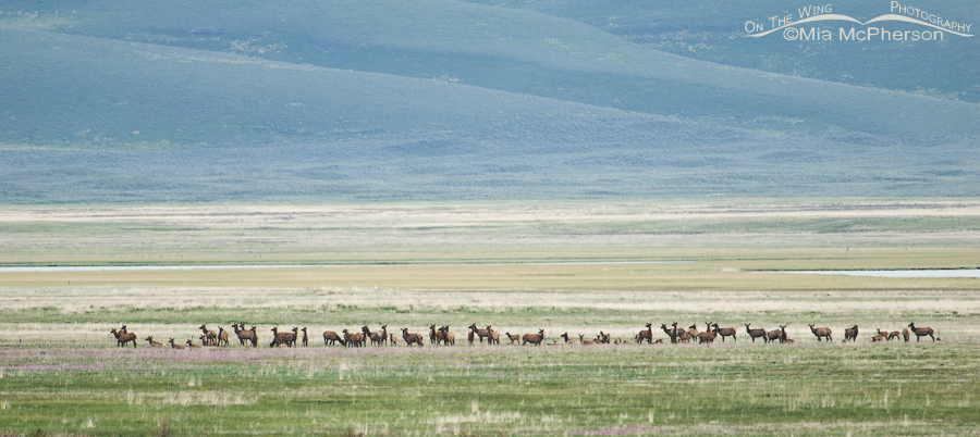 Elk herd at Red Rock Lakes NWR