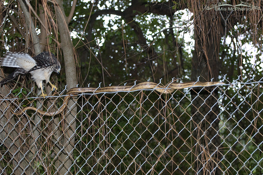 Juvenile Red-shouldered Hawk trying to catch a Yellow Rat Snake