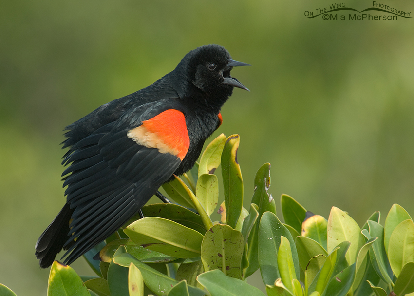Singing male Red-winged Blackbird