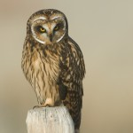 Short-eared Owl female in the fog