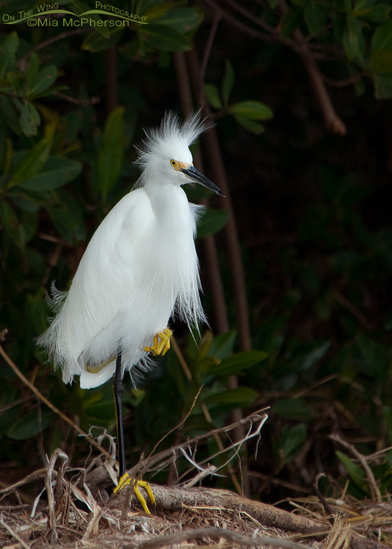 Snowy Egret resting in the mangroves