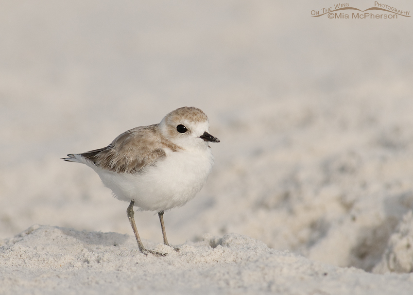 Snowy Plover on a sugar sand beach