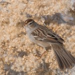 Juvenile White-crowned Sparrow foraging on Rabbitbrush