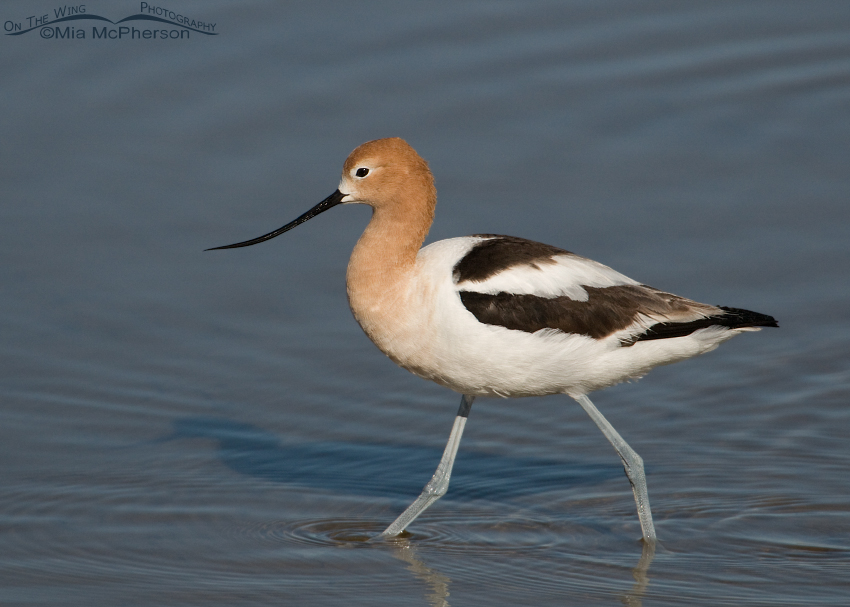 Adult American Avocet in its breeding plumage