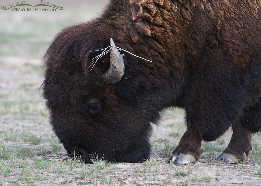 Close up of a an American Bison
