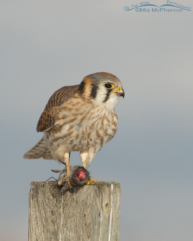 Female American Kestrel with prey